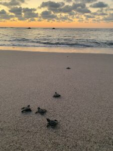 Sea turtles heading to their new home